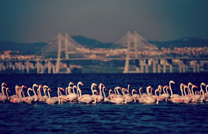 Flamingos-no-Tejo-715x462
